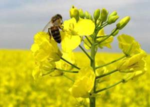 Лечебные свойства и химический состав меда из рапса