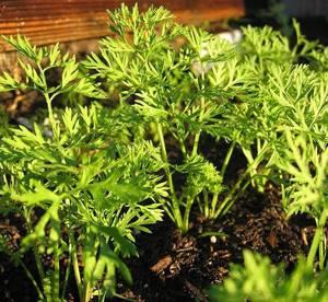 Полезные и лечебные свойства морковной ботвы