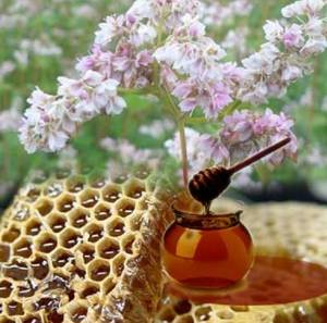 Полезные свойства и возможные противопоказания гречишного меда