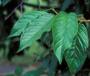 Полезные свойства и возможные противопоказания листьев вишни