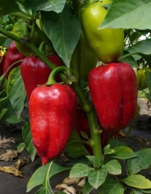 Полезные свойства и противопоказания болгарского перца