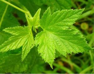 Полезные свойства и противопоказания для организма человека листьев смородины