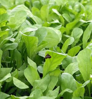 Польза и возможный вред салата руккола (рукола)
