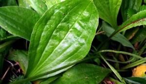 Целебные и лекарственные свойства травы подорожника