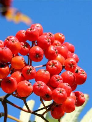 Целебные и лечебные свойства красной рябины