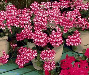 Чем полезна герань, свойства ее цветков и листьев