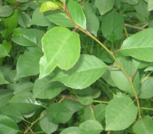 Чем полезны для организма человека листья вишни