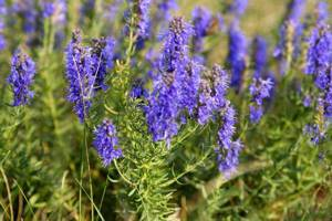 Чем помогает организму человека лекарственная трава иссоп