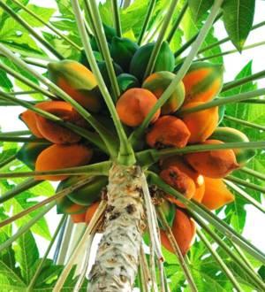 Калорийность и химический состав папайи