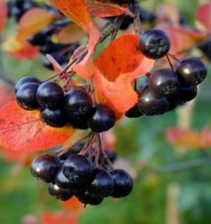 Лечебные, полезные свойства и возможные противопоказания черноплодной рябины (черноплодки)