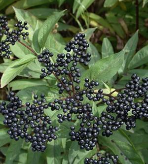 Лечебные свойства и возможные противопоказания черной бузины