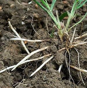 Лечебные свойства корня пырея