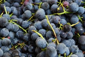 Полезные и вредные свойства винограда Изабелла