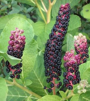 Полезные и лечебные свойства ягоды лаконос
