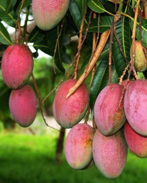 Полезные свойства и возможные противопоказания фрукта манго