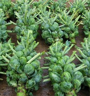 Полезные свойства и калорийность брюссельской капусты
