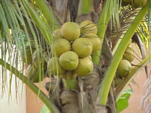 Полезные свойства и химический состав кокоса