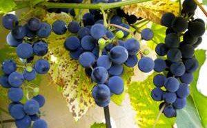 Польза и возможный вред для здоровья винограда Изабелла