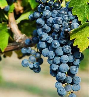 Польза и возможный вред для здоровья черных сортов винограда