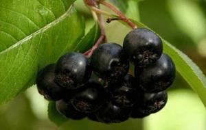 Польза и вред черноплодной рябины для организма человека