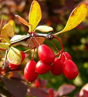 Польза и вред ягод барбариса