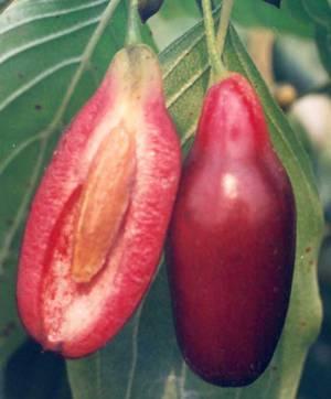 Польза и вред ягод и косточек кизила