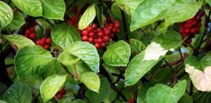 Польза и вред ягод и листьев китайского (дальневосточного) лимонника