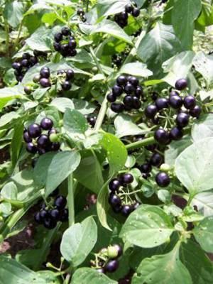 Растение санберри (солнечная ягода, канадская черника) и его лечебные свойства