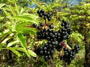 Сферы применения и польза цветков, плодов и сока черной бузины