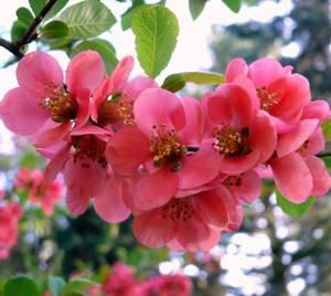 Сферы применения плодов и соцветий японской айвы