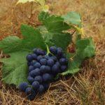 Химический состав и пищевая ценность черного винограда