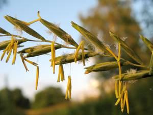 Химический состав и сферы применения травы и корня пырея