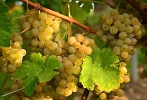 Химический состав, пищевая и энергетическая ценность винограда