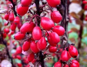 Целебные свойства барбариса и берберина