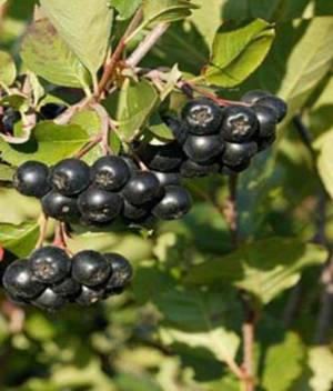 Целебные свойства и сферы пприменения ягод и сока из черноплодной рябины