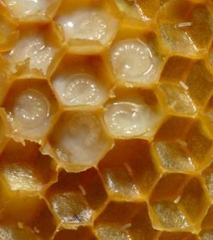 Как надо принимать пчелиное маточное молочко, лечебные свойства этого продукта