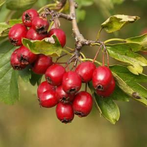 Полезные, лечебные свойства и противопоказания ягод боярышника