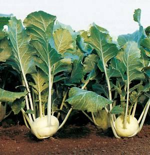 Польза и возможный вред капусты кольраби