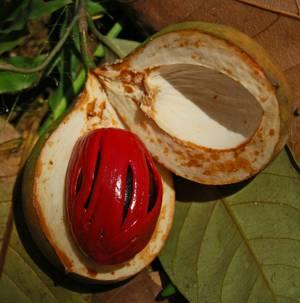 Польза и вред мускатного ореха как приправы