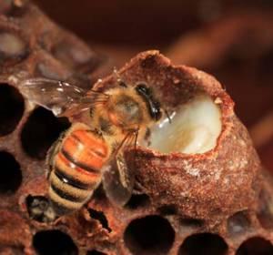 Польза и вред пчелиного маточного молочка