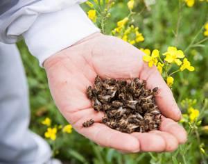 Как правильно принимать и хранить пчелиный подмор