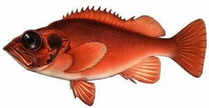 Пищевая ценность и калорийность морского окуня