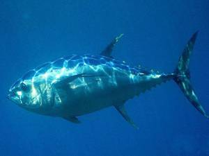Пищевая ценность, полезные свойства и калорийность тунца