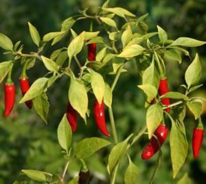 Полезные свойства и калорийность красного острого перца