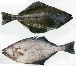 Полезные свойства и противопоказания к употреблению рыбы палтус