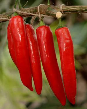 Польза и возможный вред красного жгучего перца