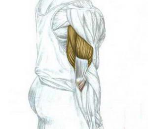 Как накачать трехглавую мышцу плеча гантелями