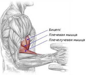 Какую роль играет брахиалис в упражнении подъем штанги на бицепс обратным хватом