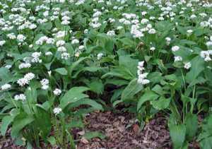 Чем полезна колба (черемша) и где растет это растение