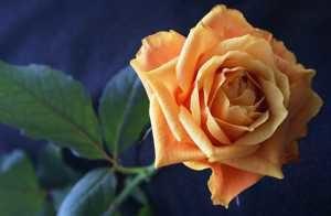 Как правильно сушить чайную розу